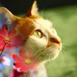 猫とコスモス画像
